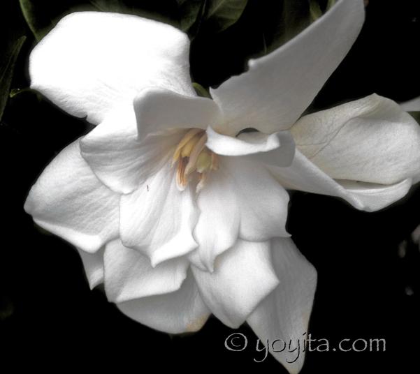 Mississippi Magnolia by Yoyita