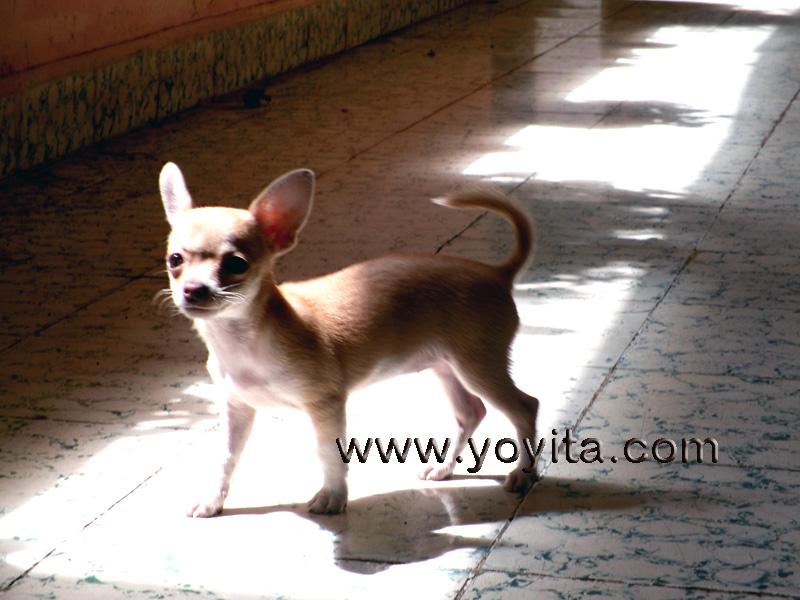 chihuahua Bolita