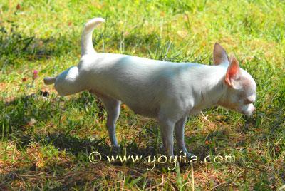 Chihuahua Cocoa