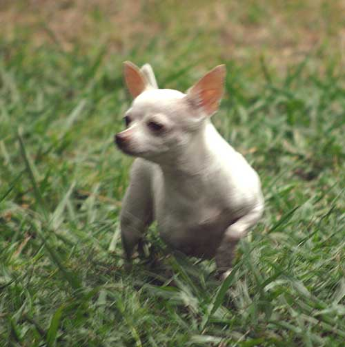chihuahua dog Cocoa hunting