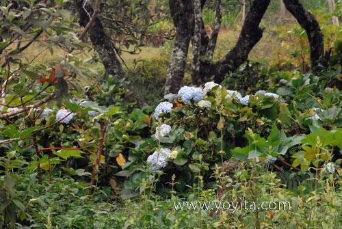 Jinotega flowers
