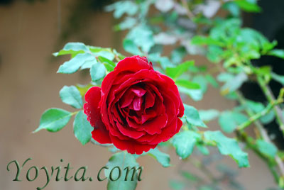 flowers, roses copyright Yoyita