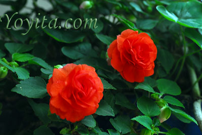 flowers roses copyright Yoyita