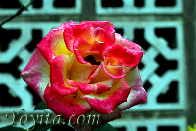 rose copyright Yoyita