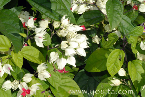 Tropical flowers Nicaragua