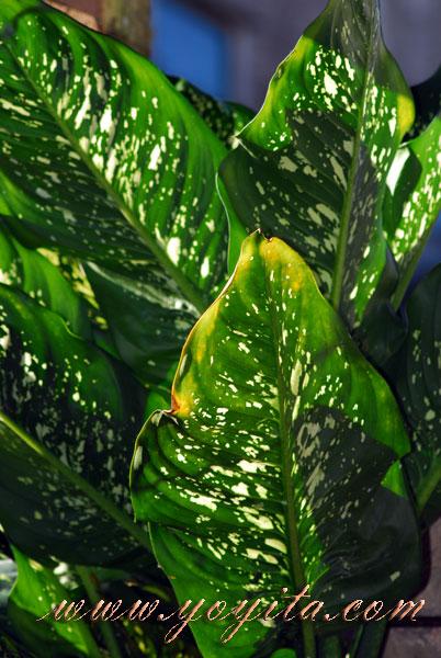 plantas de hojas largas