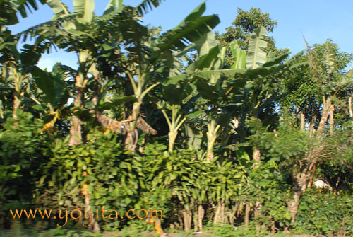 Crop of platain trees