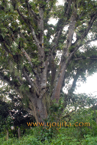 Tropical Tree with parasitic ferns and orchads Nicaragua