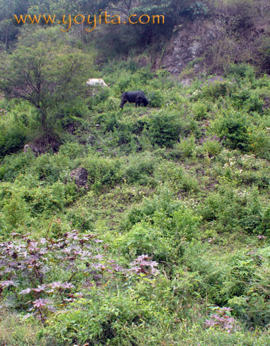 Cows on a hill