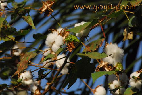 Cotton plant Nicaragua