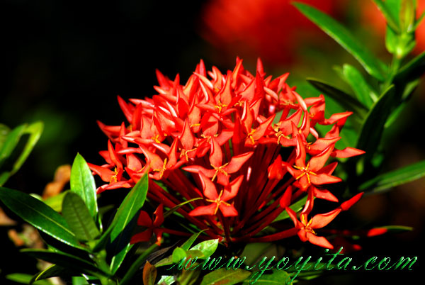 tropical flowers go green see exotic flowers nicaraguan caribbean, Beautiful flower