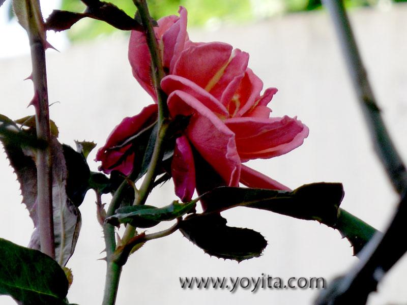 rose rosa rosada pink yellow amarilla