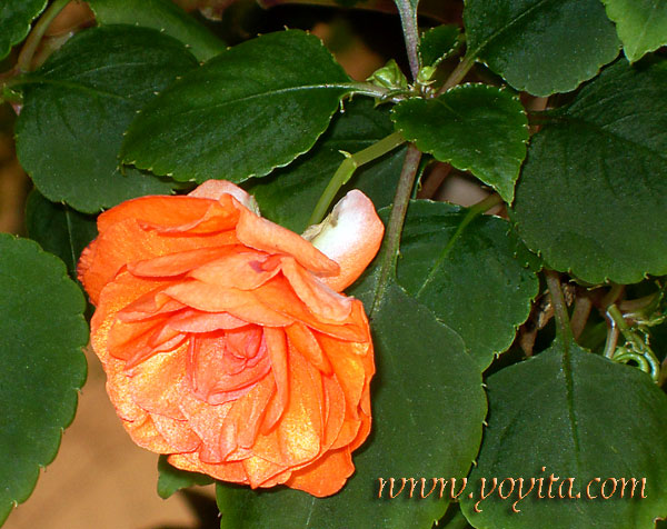 satin orange rose
