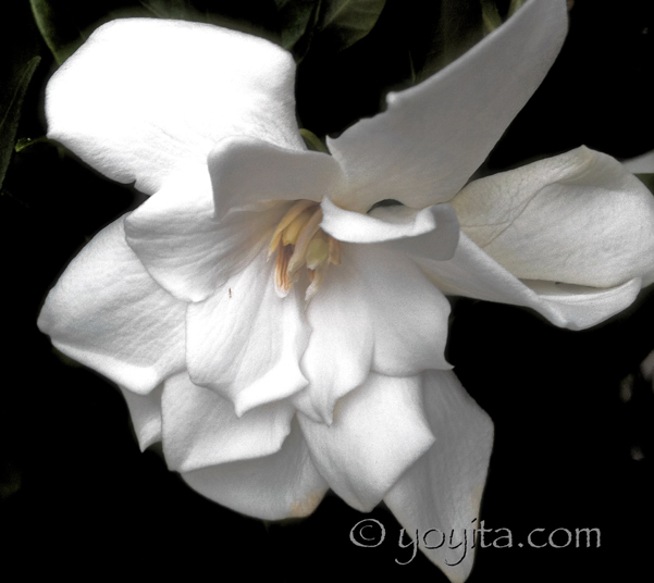 白玉蘭 Yoyita