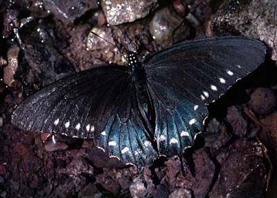 Spicebush Swallowtail (Battus philenor)