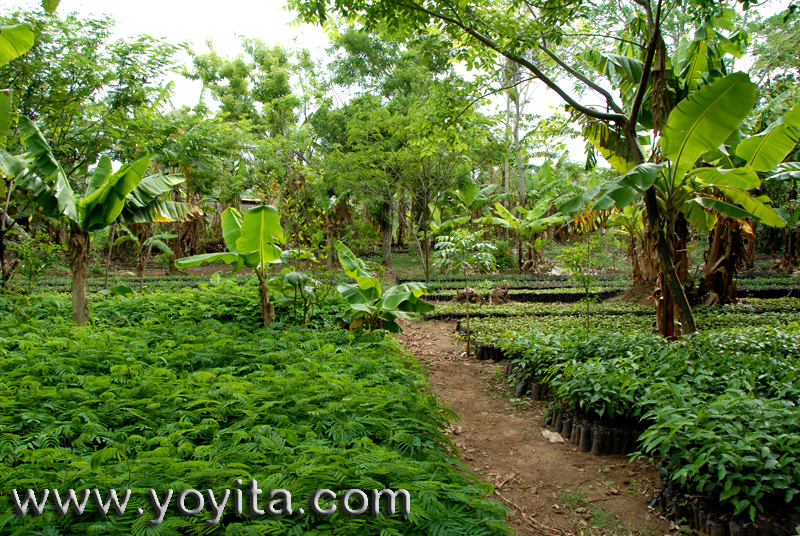 Tropical and subtropical fruit trees as mango, papaya, avocado, platain and popular medicine plants and cooking herbs are seen