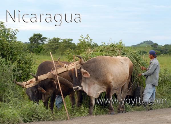 Nicaragua younta de bueyes