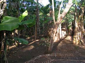 Platain crop