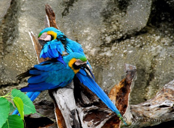 blue parrots macaw photography copyright yoyita