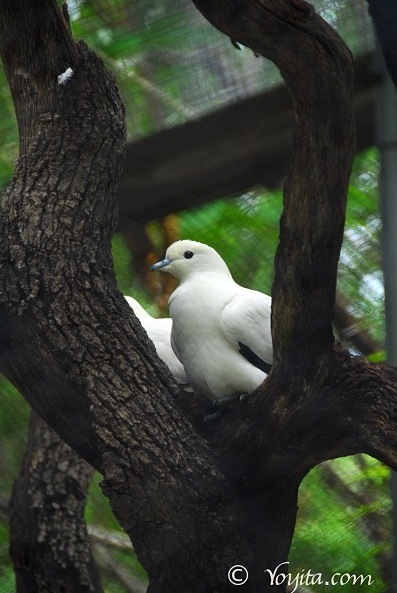 doves copyright yoyitacom