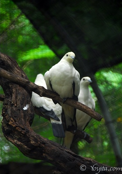 doves photography copyright yoyitacom
