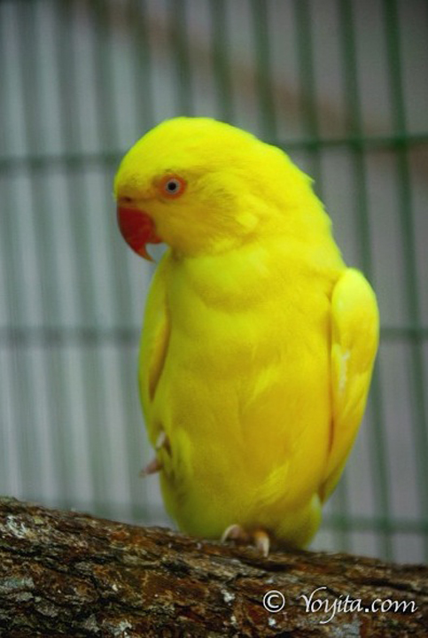 yellow bird copyright yoyita