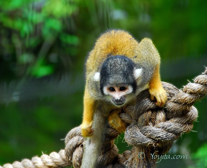 yellow monkey photography copyright yoyita