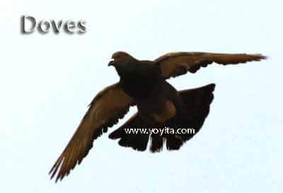 Dove palomas