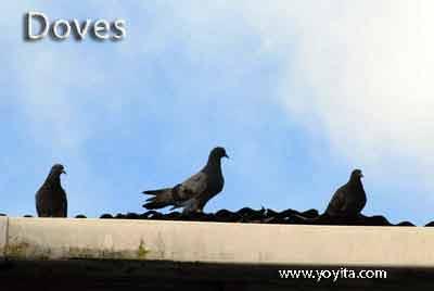 doves palomas