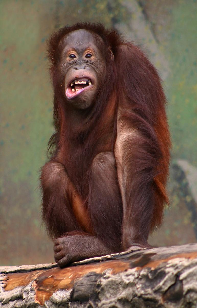 Orangutan pongo