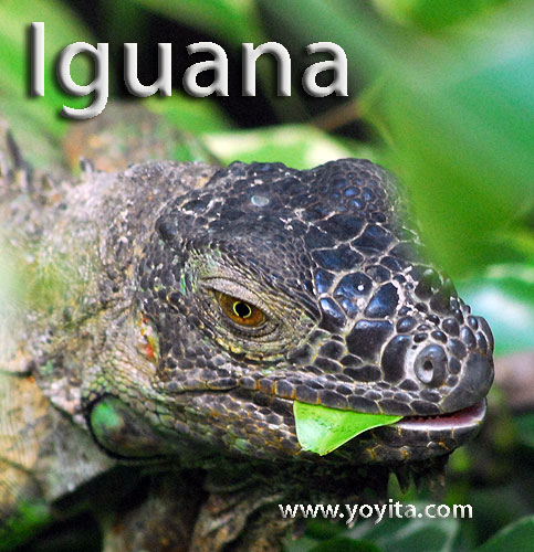 iguana rainforest animal