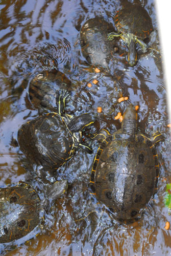 http://www.yoyita.com/zoo/turtle
